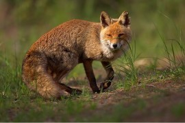 Hundstaupe, Impfung Hund, Krankheit Fuchs